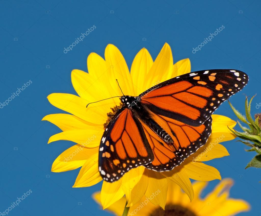Dorsal view of a male Monarch butterfly feeding on a wild sunflower against deep blue sky