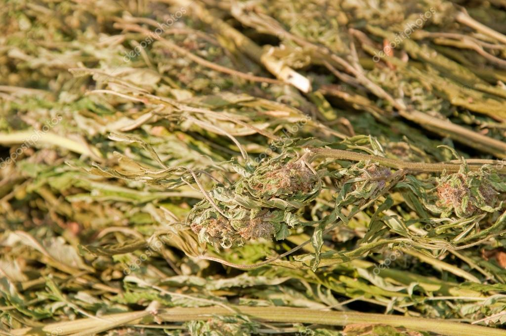 Closeup image of a large bundle of marijuana confiscated by law enforcement