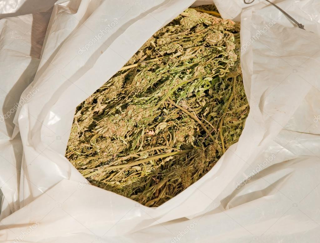 Bundle of confiscated marijuana plants wrapped in plastic