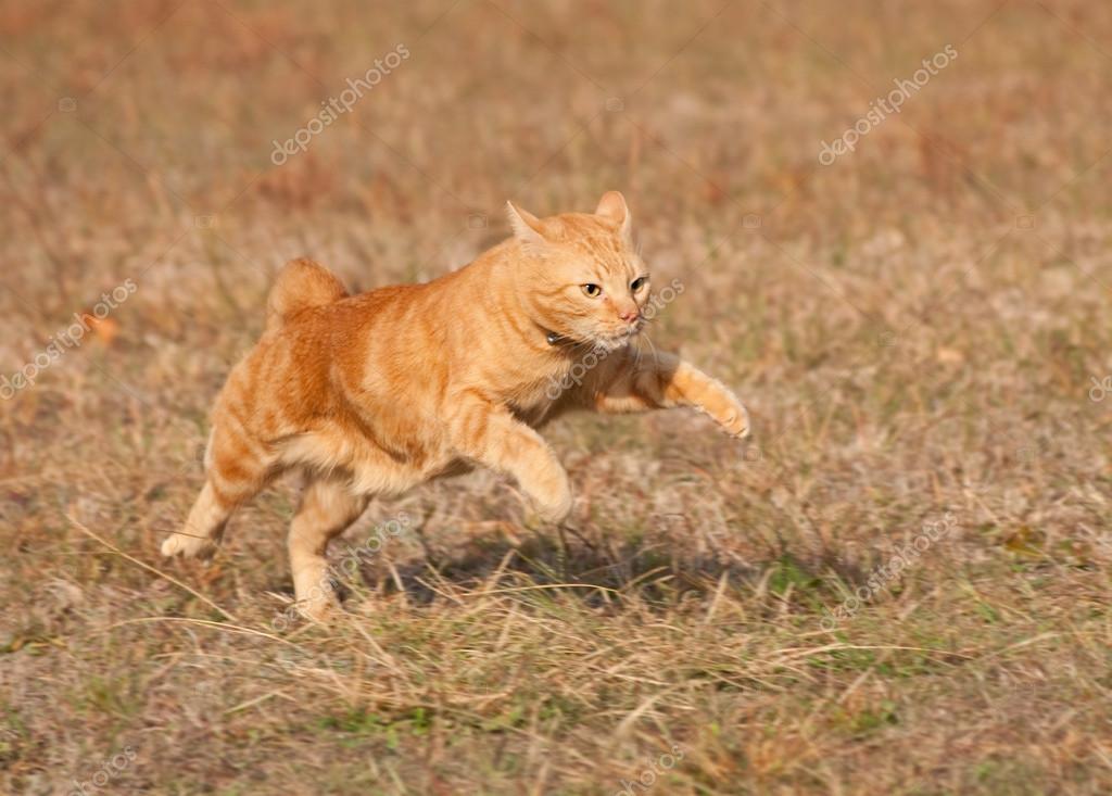 Orange tabby cat running across autumn grass field in high speed