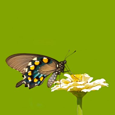 Green Swallowtail butterfly on solid green background