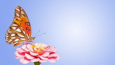 Gulf Fririllary butterfly feeding on pink Zinnia against brilliant blue gradient background