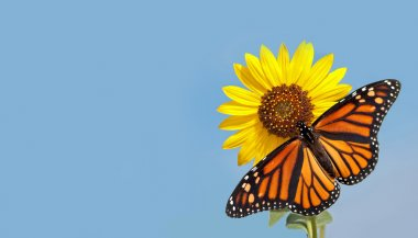 Monarch butterfly on sunflower against clear blue sky, a business card design with pure nature concept