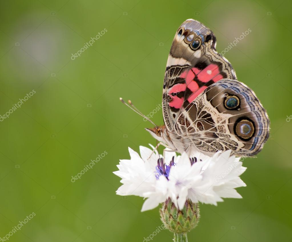 Americana señora pintada mariposa alimentándose de un aciano blanco ...