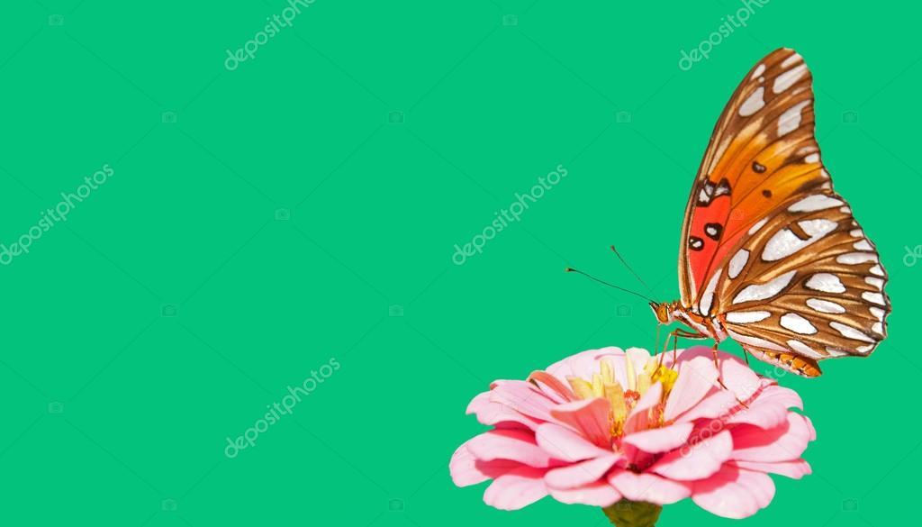 Farfalla Del Fritillary Del Golfo Alimentazione Su Un Fiore Di