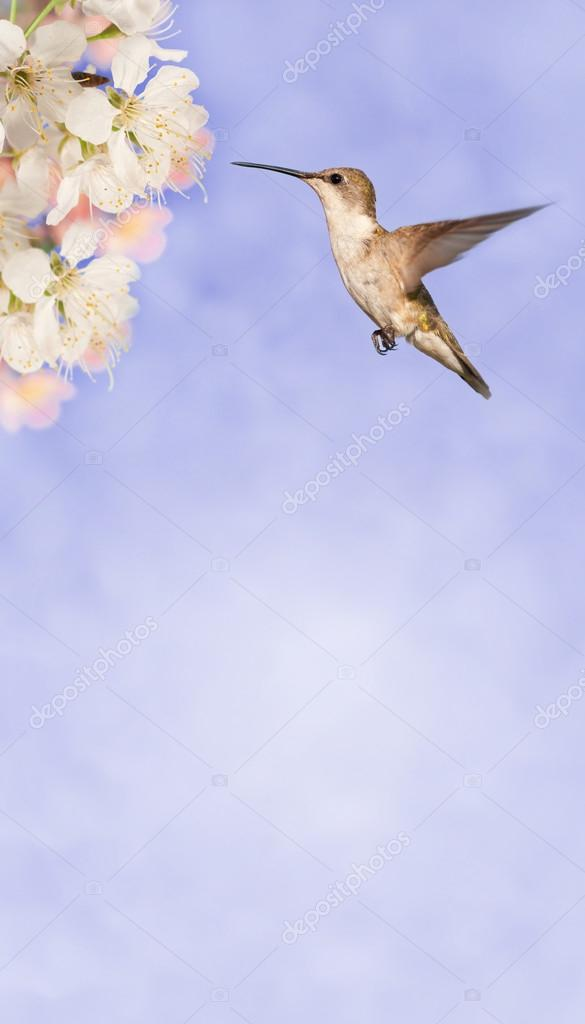 Female Ruby-throated Hummingbird getting ready to feed on spring flowers on dreamy lilac background, with copy space