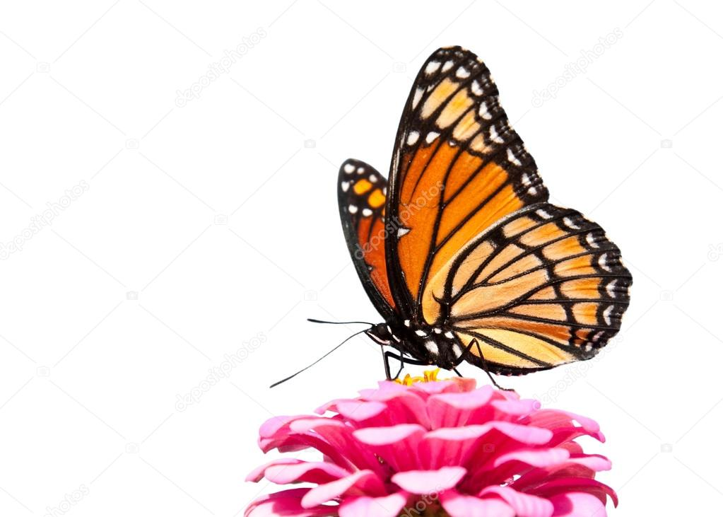 Brilliant Viceroy butterfly feeding on a bright pink Zinnia isolated on white