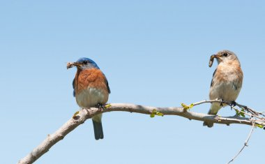 Mommy and daddy Eastern Bluebird with insects in their beaks to feed their brood in early spring