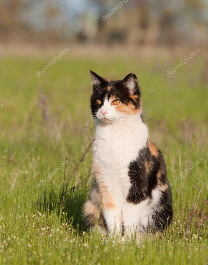 Beautiful calico cat in light green spring grass