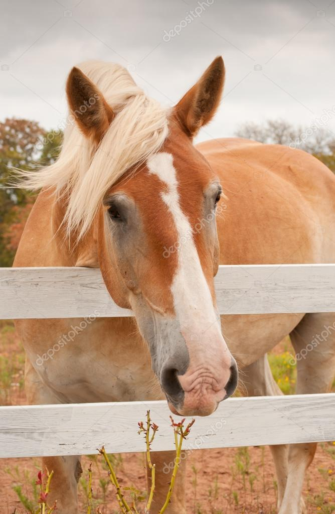 Cute Belgian Draft Horse Looking At The Viewer Over A White Board Fence Stock Photo C Okiepony 71275097