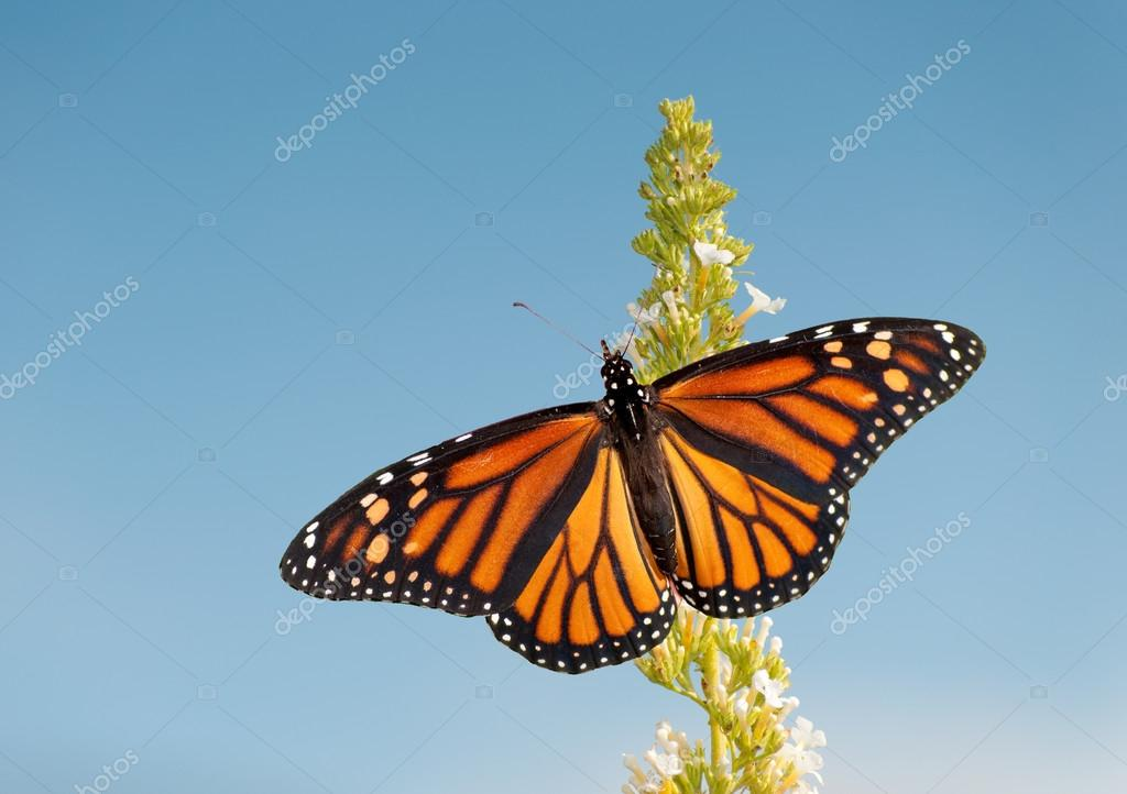 Weibliche Monarchfalter Fütterung auf weiße Blume Cluster von einem ...