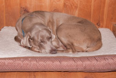 Old dog curled up, sleeping happily on his soft bed