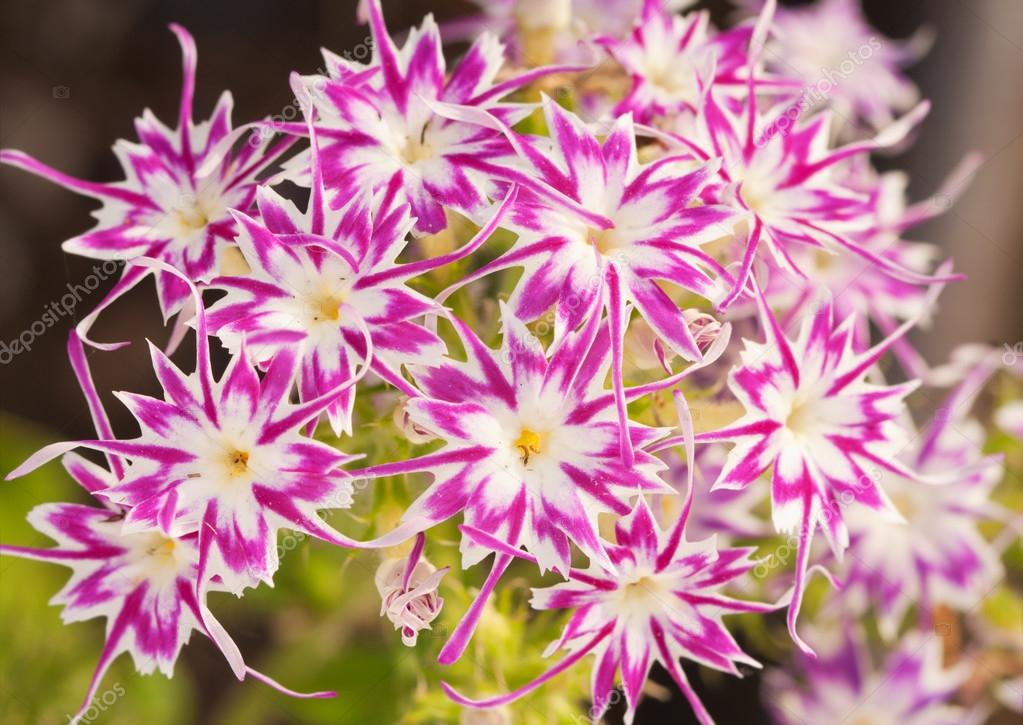 Beaufiful pink and white star phlox with star shaped flowers beaufiful pink and white star phlox with star shaped flowers photo by okiepony mightylinksfo