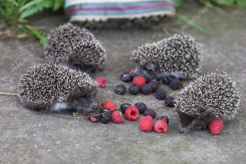 Photo of young hedgehog closeup