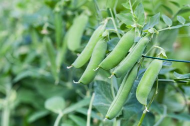 Green peas in the garden