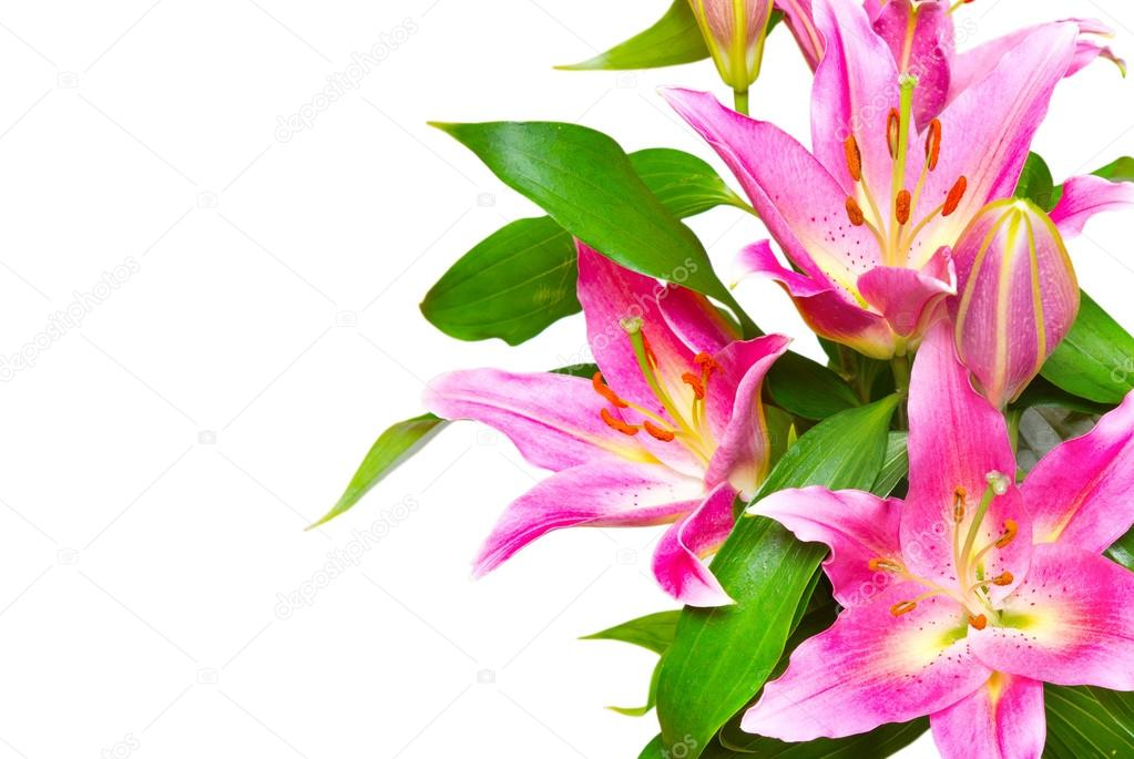 Rosa Lilien Blume isoliert auf weiss — Stockfoto © MaxPayne #102477094