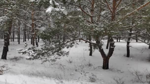 Landschaft in einem verschneiten Wald. Sanfter Schneefall im winterlich verschneiten Wald. Schöne Winterlandschaft, Fichtenzweige im Schnee. Schneefall im Winter im Wald. Winterlandschaft. Schneebedeckte Bäume.