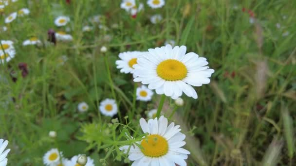 beautiful white daisies. camomile field. wildflowers. white flower petals. flowers with blurred background