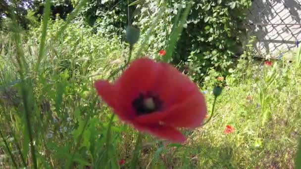 very beautiful poppies. many poppies. Red flowers. summer wildflowers. background with flowers. wallpaper with nature