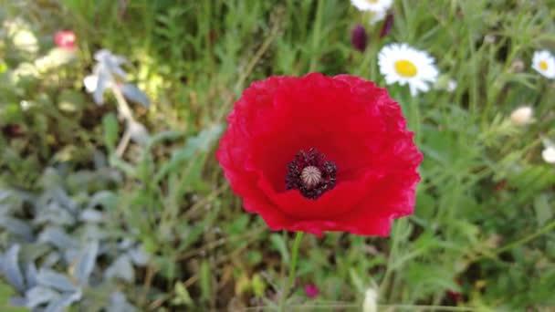 velmi krásné máky. mnoho máku. Červené květiny. letní divoké květiny. pozadí s květinami. tapeta s přírodou