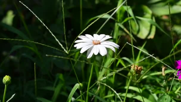 gorgeous white daisies. beautiful daisies in the flowerbed