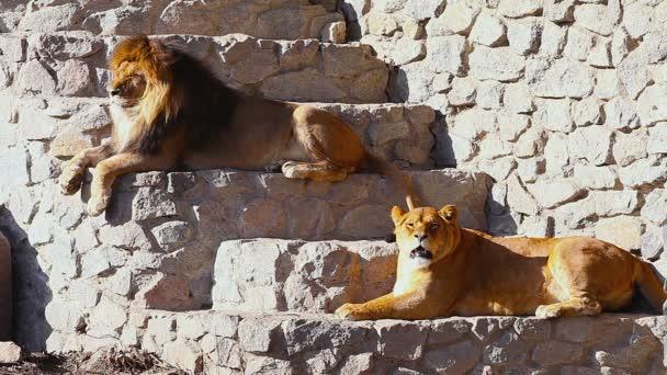 nőstény oroszlán néz ki
