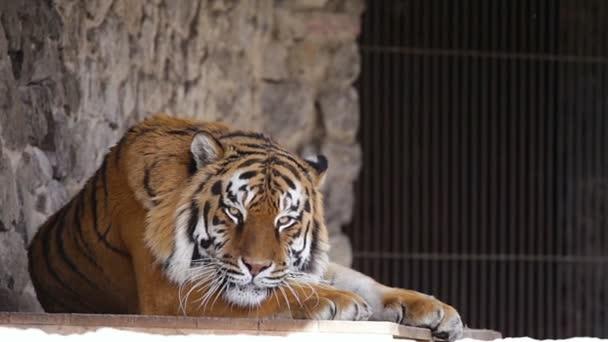 Zoo. Una tigre adulta che riposa