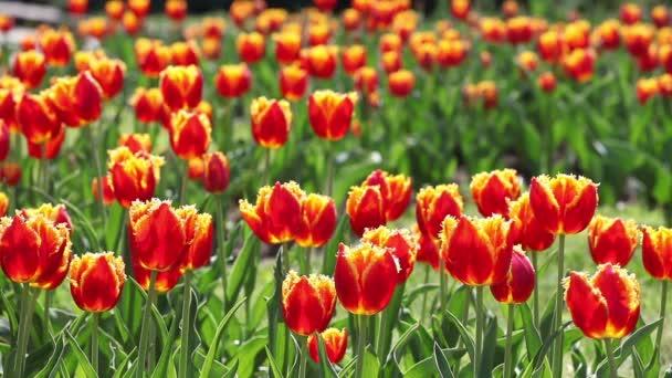 Tulipán. Egy csomó piros tulipán, imbolygott a szélben.