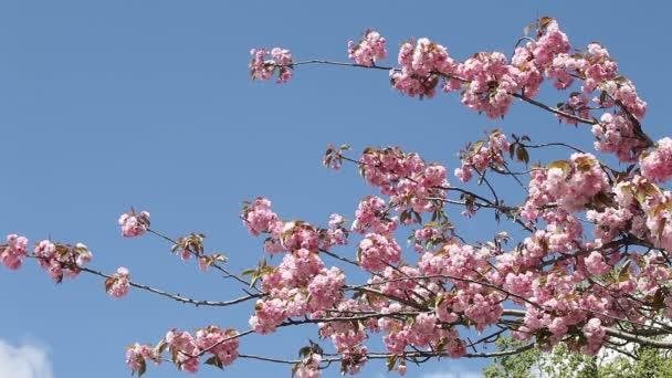 kvetoucí třešní na jaře za slunečného dne