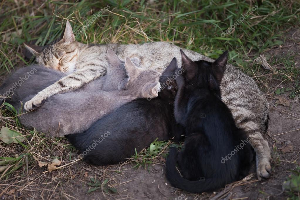 Cat Nursing her Kittens