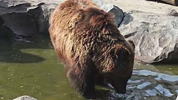 Medvěd hnědý, hledal něco k snědku v kyjevské Zoo