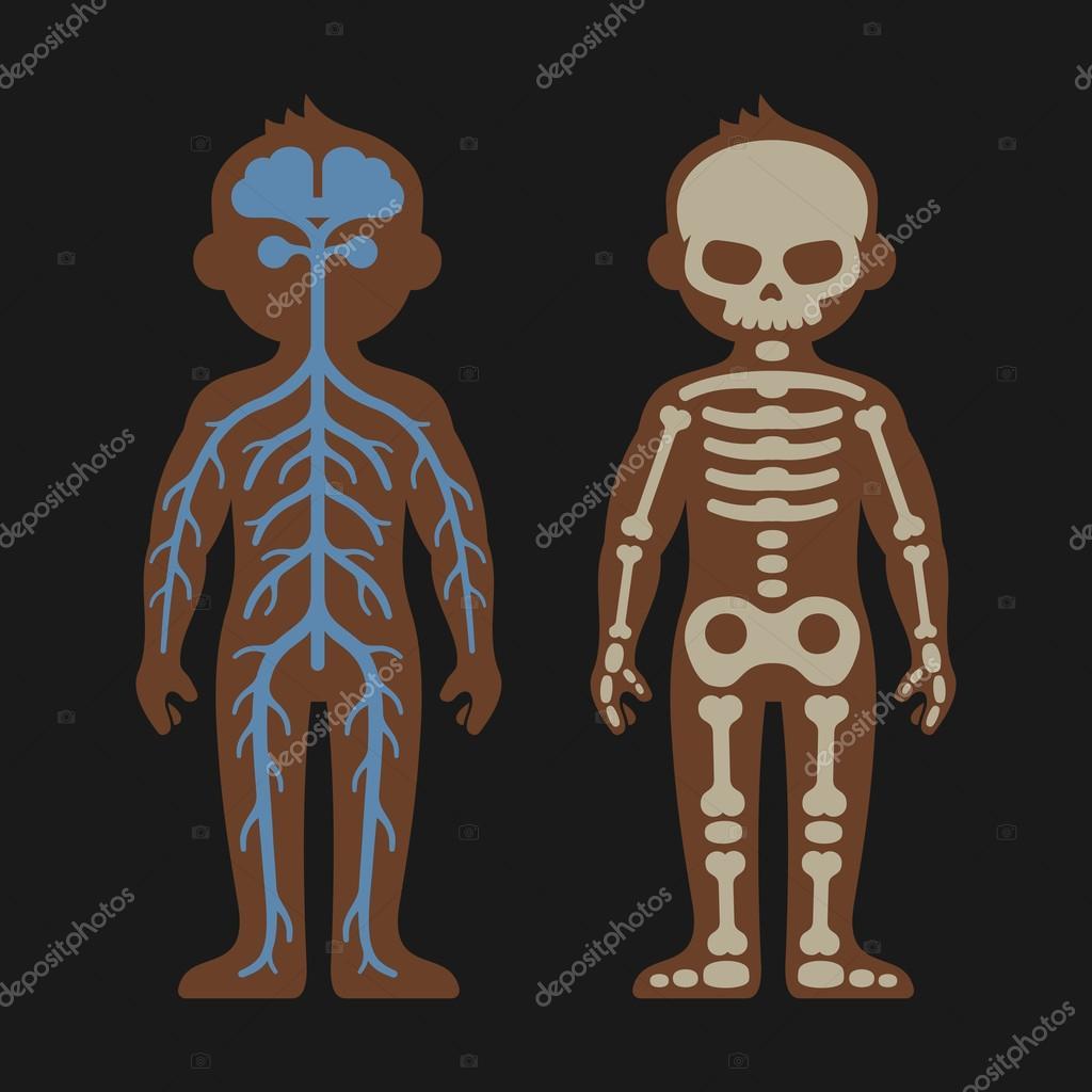 Conjunto de la anatomía del cuerpo humano. Skeletonand los sistemas ...