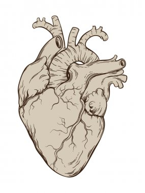 Hand drawn line art  anatomically correct human heart. Isolated  vector illustration.