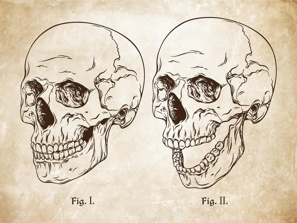 Line Drawing Of Human Face : Hand drawn line art anatomically correct human skulls set da