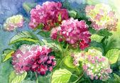 Kreslení kvetoucí hortenzie. papír, barvu vody