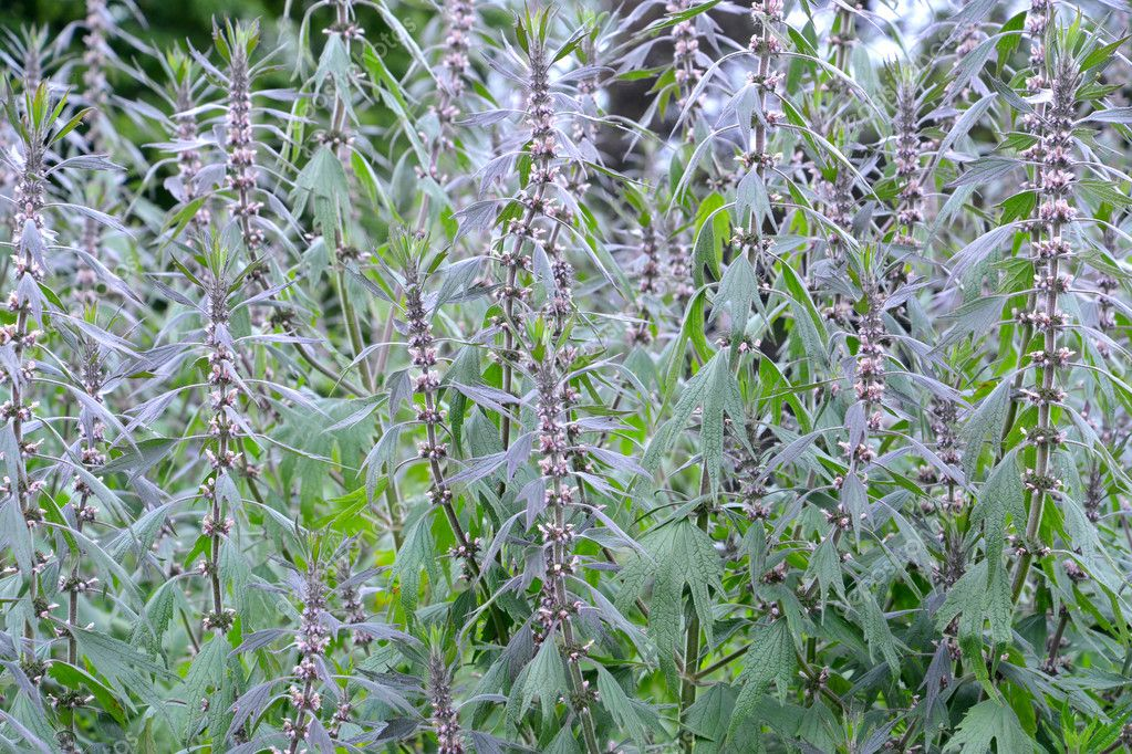 Thickets of a motherwort  shaggy five-bladed (Leonurus quinquelo