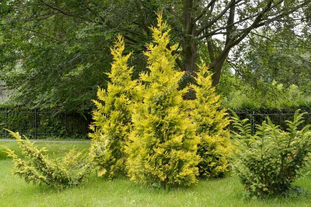 Thuja western grades golden and motley (Thuja occidentalis L. Au