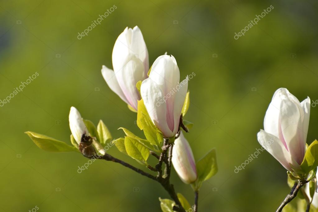 The blossoming magnolia of Sulanzha (Magnolia soulangeana Soul