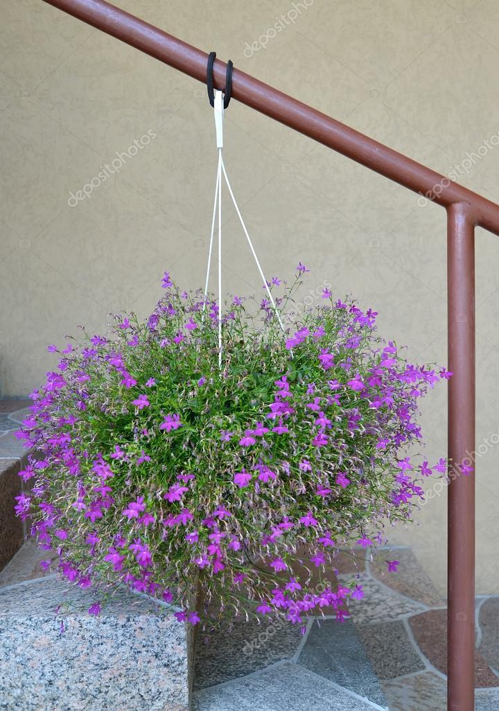 Lobelia Erinus Lobelia Erinus L Hangs In A Cache Pot Over A H