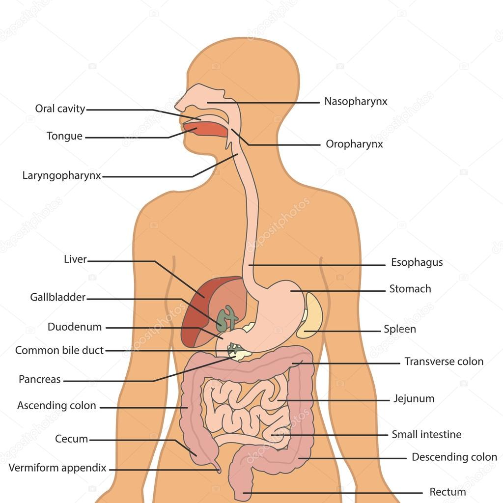 Human Digestive System Labeled Stock Vector Royalty 91562940