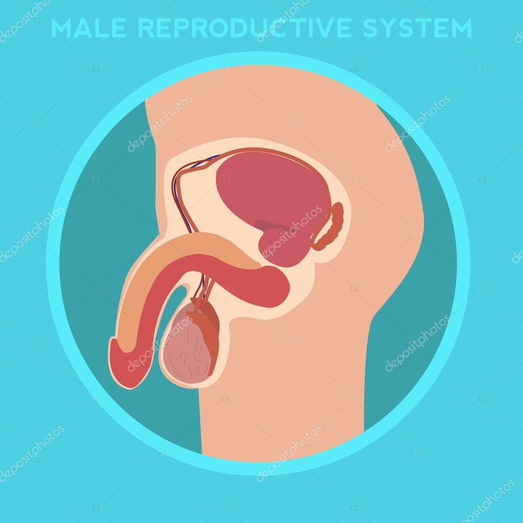 sistema reproductor masculino — Vector de stock © royalty #91564964