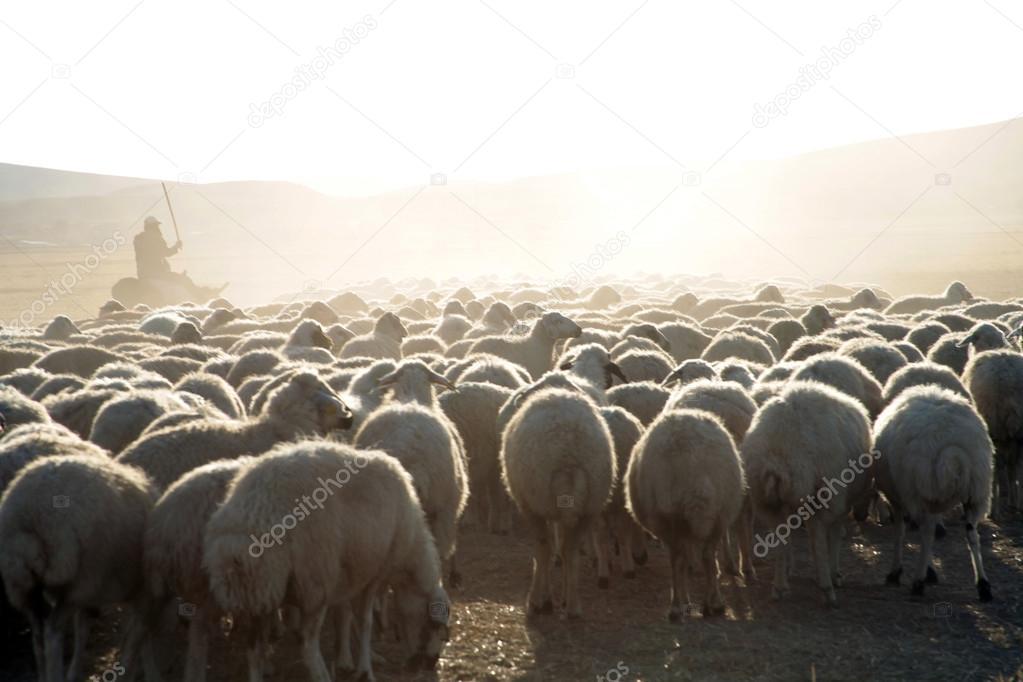Sheep And Shepherds Stock Photo