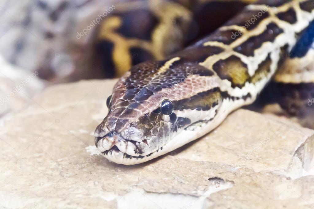 Foto de cabeza de python de cerca — Foto de stock © julialine #118994446
