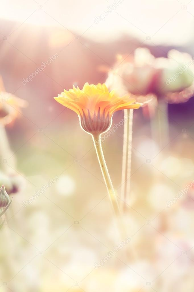 Abstract nature blurred background - orange flower on meadow wit
