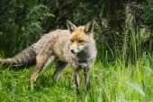 Atemberaubende männlichen Fuchs lange üppige grüne Gras der Sommerwiese