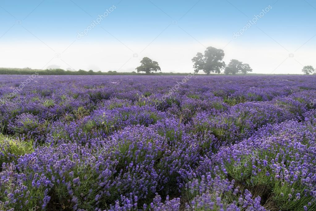 Beautiful dramatic misty sunrise landscape over lavender field i