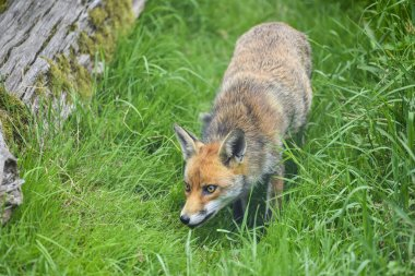 Stunning image of red fox vulpes vulpes in lush Summer countrysi