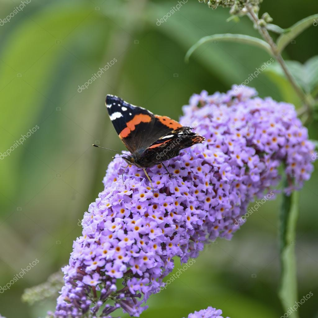 Lovely image of Red Admiral butterfly Vanessa Atalanta on vibran