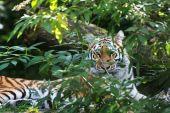 bengáli tigris panthera tigris tigris fogságban