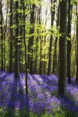 Ohromující bluebell květiny na jaře Lesní krajina